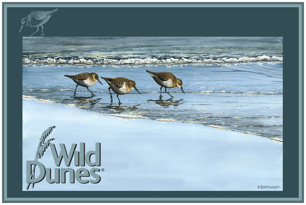 Wild Dunes North Carolina Birds At Beach Drawing & Painting Birds Giclee Art Print Poster by Dave Bartholet
